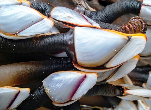 Pelagic Gooseneck Barnacles - Photo by Stephen Grace