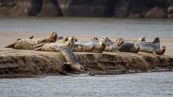 Photo by Stephen Ikeda - wildlife (harbor seals)