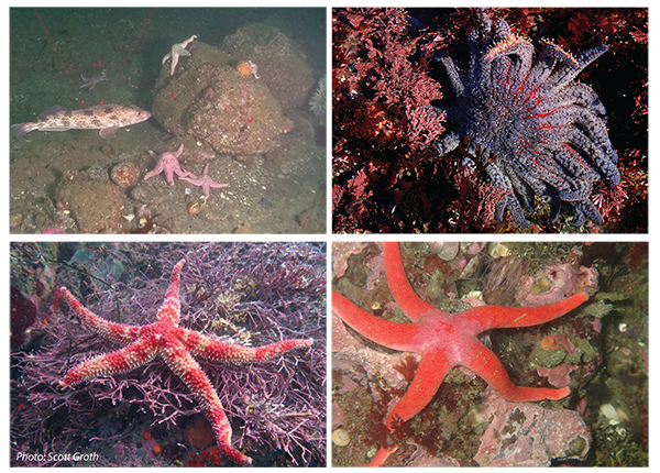 Four sea star species