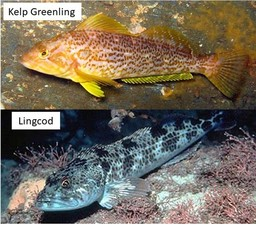 Kelp greenling and lingcod
