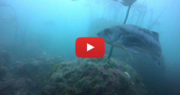 Underwater video from Otter Rock Marine Reserve