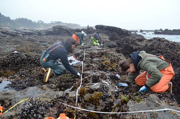 Researchers conducting rocky intertidal monitoring surveys