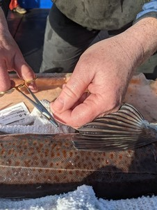 Tagging a lingcod