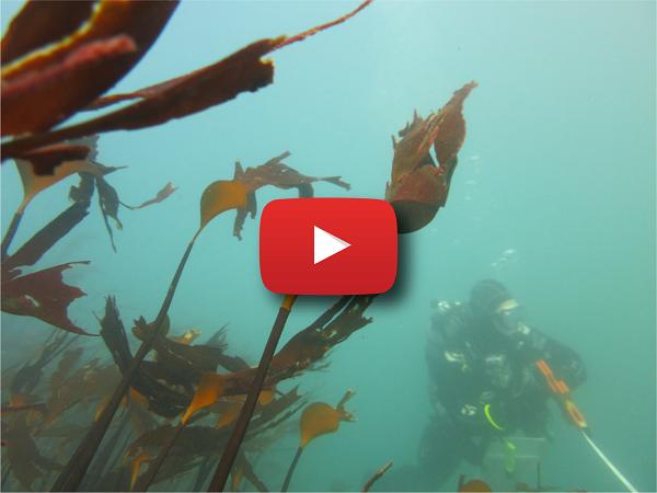 SCUBA diver and algae