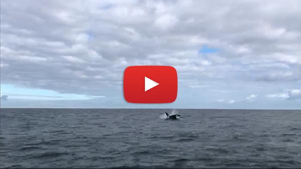 Killer Whale video clip