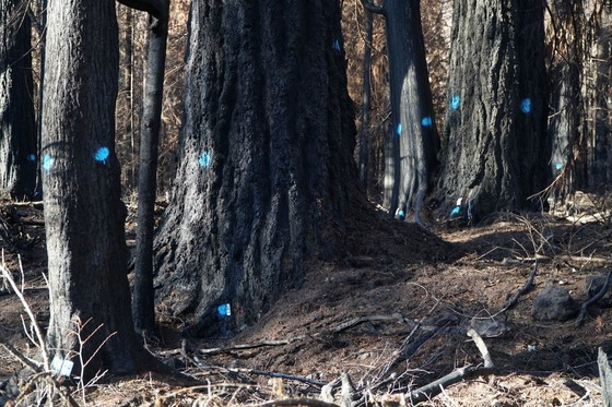 Hazard trees marked for removal