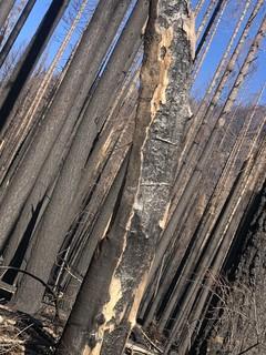 Burned trees along North Fork Road