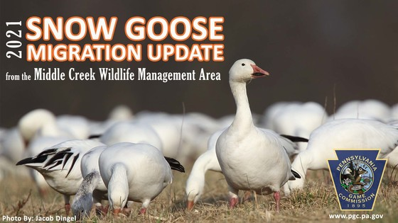 Middle Creek Snow Goose Migration Update Graphic