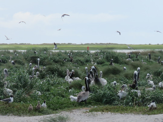 Bown pelicans nesting on SC shore