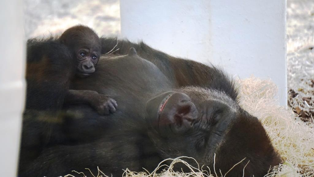 Western Lowland Gorilla Born At Como Zoo Como Park Zoo And