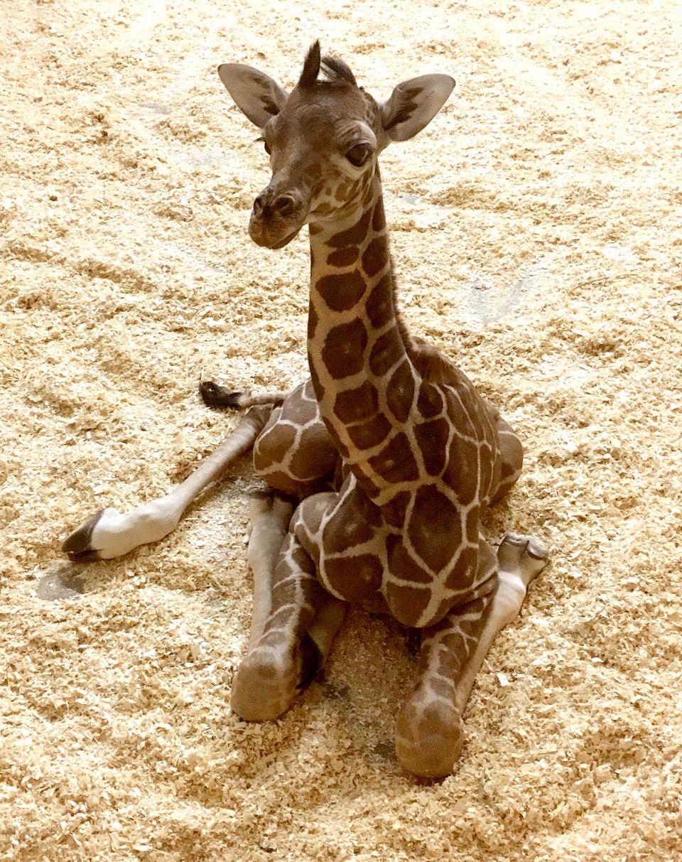 Baby giraffe at Como Zoo