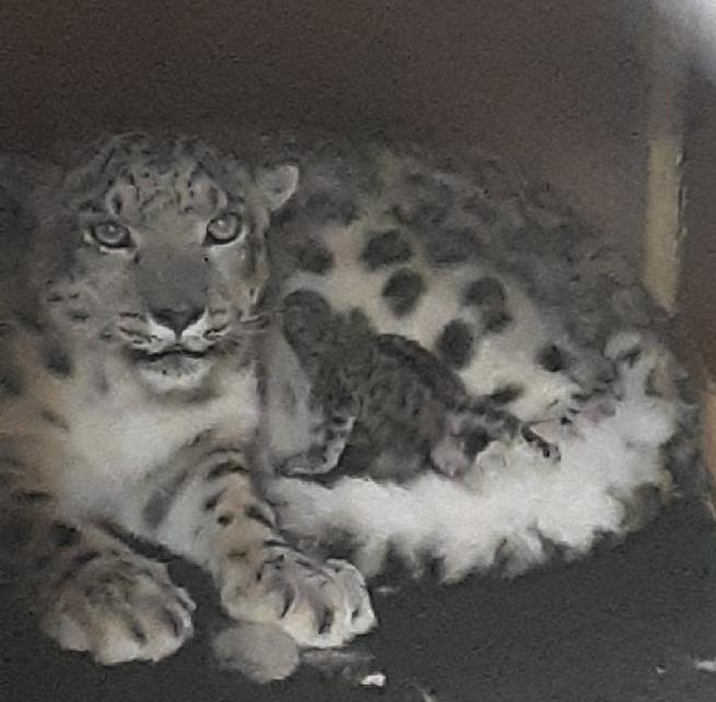 Snow leopard and baby