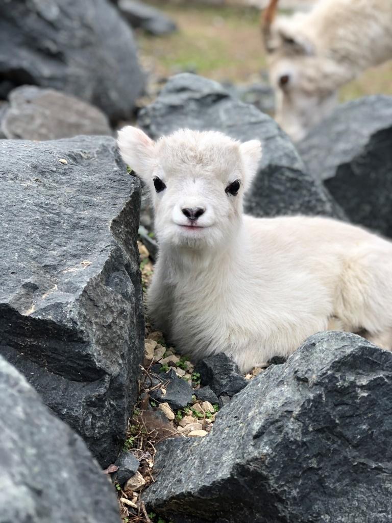 Como Zoo Dall's Sheep Quinn