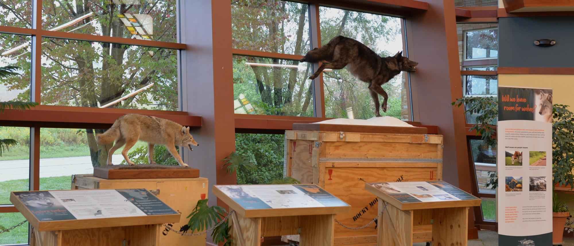 Wolf Exhibit at Como