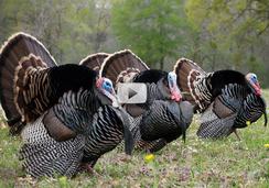 3 turkeys