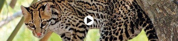 horizontal ocelot banner with play button