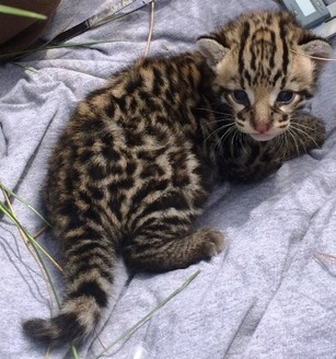 ocelot kitten - LANWR