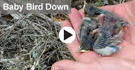 baby birds in hand