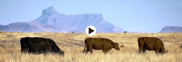 cattle by mesa