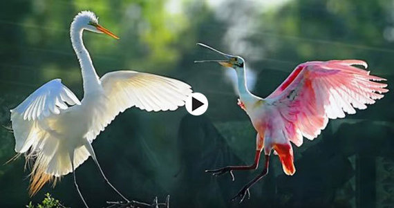 heron and spoonbill