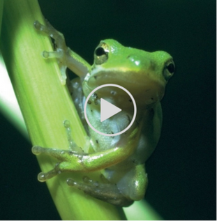 green tree frog video link