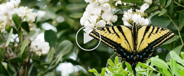 tiger swallowtail on white mountain laurel, video link