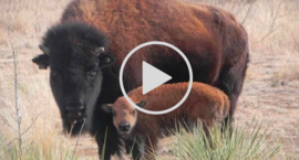 bison and calf video link