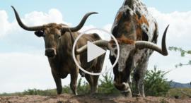 longhorns video link