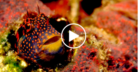 purple fish with orange dots hiding in coral, video link