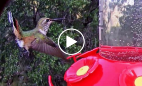 hummingbird at feeder, video link