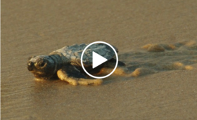 baby sea turtle on beach, video link