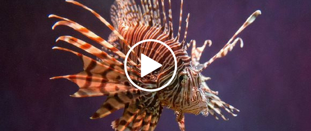 Lionfish, video link