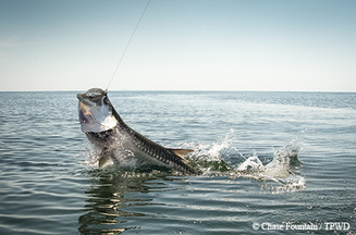 Tarpon, TPWD Photo.