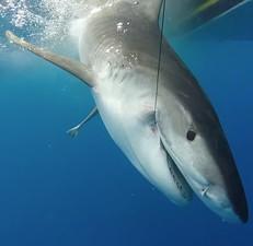 shark caught on line underwater