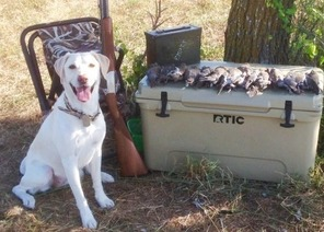 retriever by a cooler covered in harvested doves