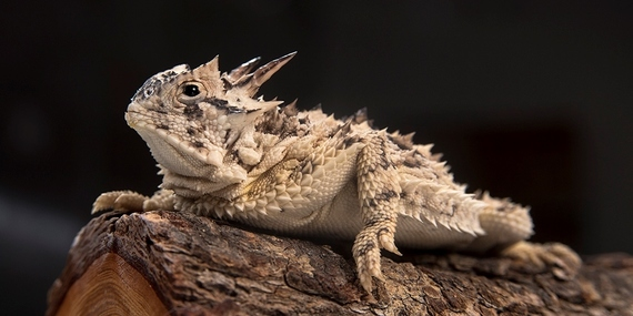 horned lizard facing L