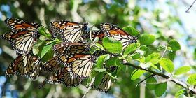 cluster of monarch butterflies resting on a branch