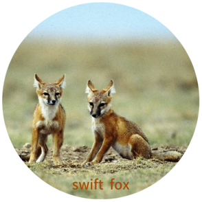 a pair of swift foxes