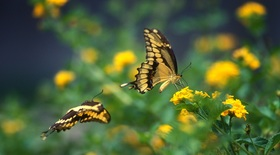 2 tiger swallowtails nectaring on lantana