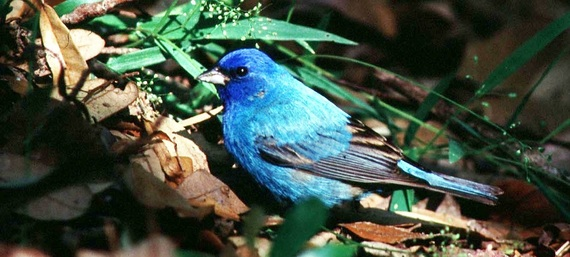 indigo bunting in fallen leaves