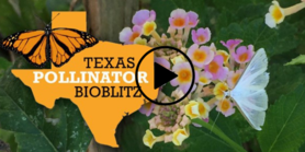 Pollinator Bioblitz, with link to video