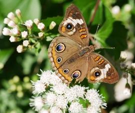 buckeye butterfly on mistflower