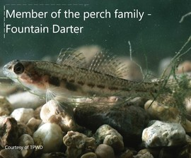 Picture of a Fountain Darter