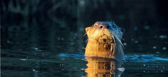 river otter head above water