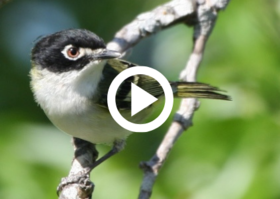 black-capped vireo bird