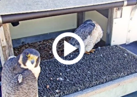2 falcons in a nest box