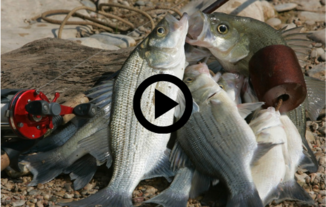 stringer of white bass, video link