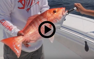 descending device being used on red snapper, video link