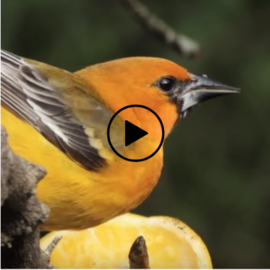 oriole bird, link to video