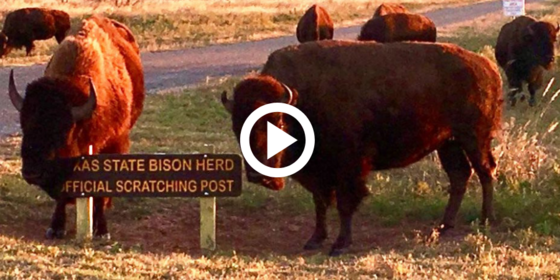 "bison scratching itself on sign reading ""Texas State Bison Herd Official Scratching Post,"" video"